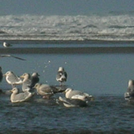 Seagulls at Cannon Beach