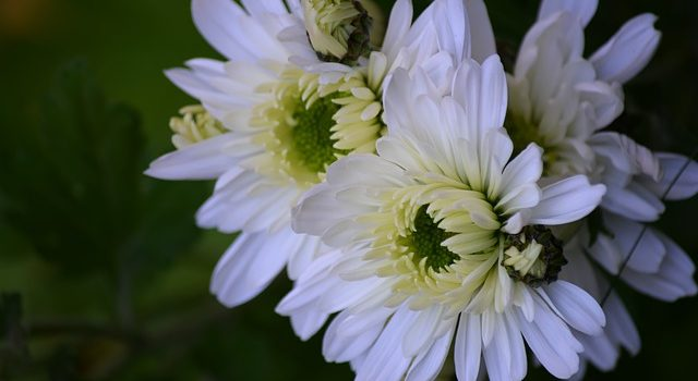Chrysanthemum blossoms